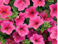 5 X TRAILING PETUNIA SURFINIA HOT PINK